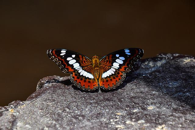 Butterfly, Insects, Animals