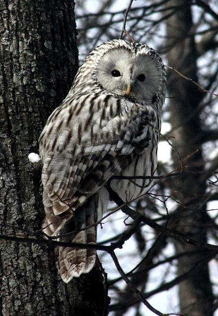 Owl, Animals, Kazan