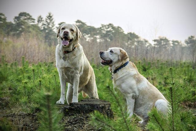 Labrador, Breed, Dogs, Animal, Animals