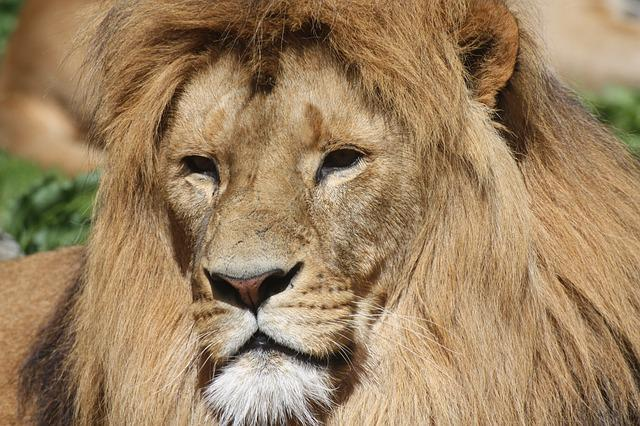 Lion, Lion's Mane, Animals