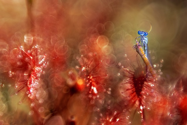 Dragonfly, Sundew, Red, Plant, Closeup, Macro, Animals