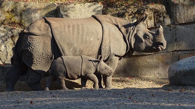 Indian Rhinoceros, Animals, Mammalia, Mammals