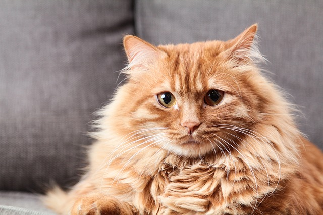 Animals, Cat, Cute, Mammals, Portrait, Pets, Fluffy