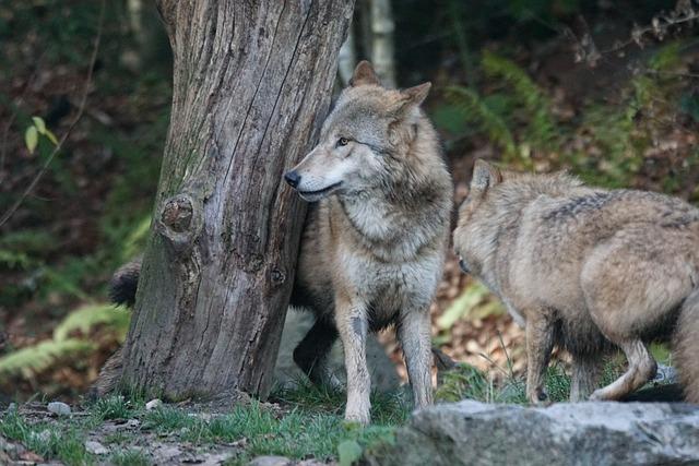 Animals, Predator, Mongolian Wolf