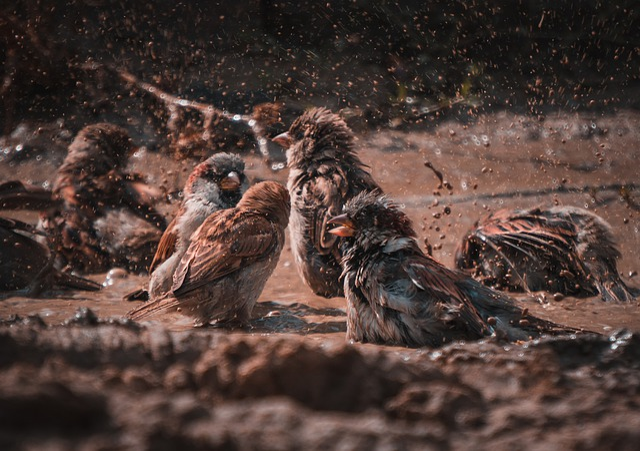 Sparrows, Birds, Water, Mud, Splash, Bath, Animals