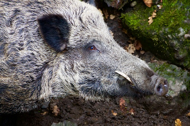 Nature, Animals, Wild Boar, Boar, Cutting Tooth