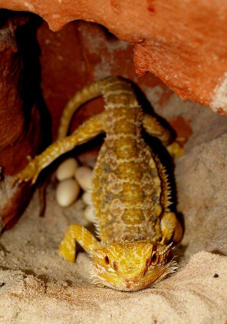 Bearded Dragon, Animals, Pogona Vitticeps, Egg