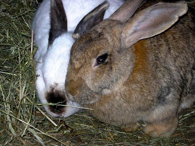 Rabbit, Animals, Nature, Hay