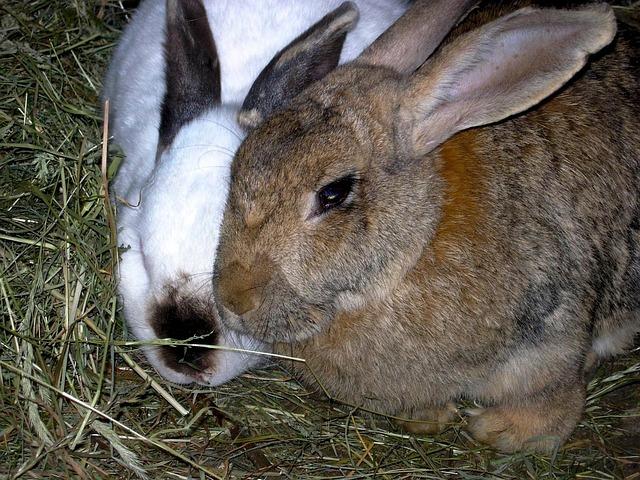 Rabbit, Animals, Nature, Hay