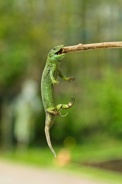 Nature, Animals, Lizard, Reptile