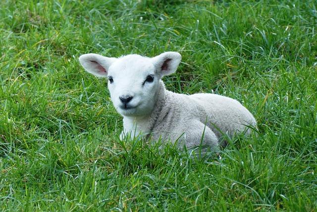 Lamb, Spring, Pasture, Nature, Outdoor Life, Animals