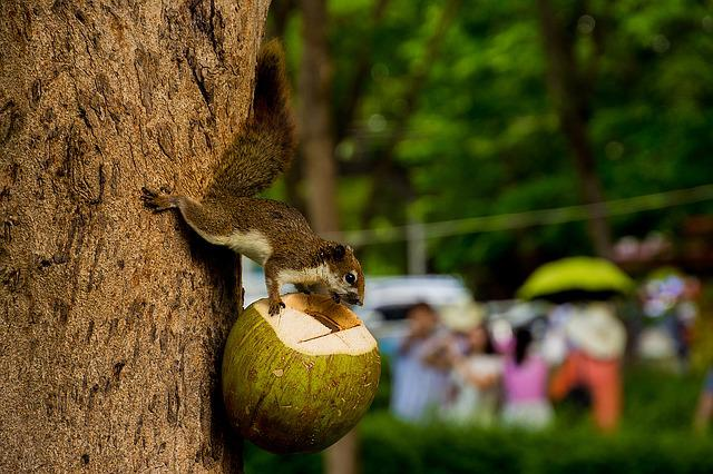 Animals, Squirrel, Holding A Coconut