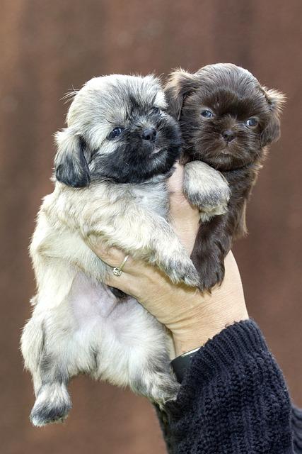 Puppy, Dog, Animals, Pet, Sweet, Shih