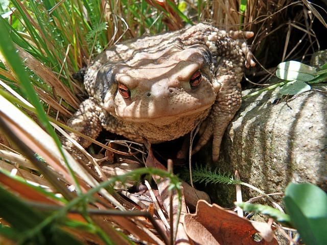 Toad, Bufo, Animals, Amphibian, Nature, Macro, Eye