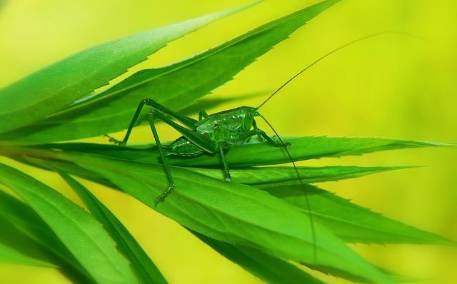 Grasshopper Green, Young, Tom, Prostoskrzydłe, Animals