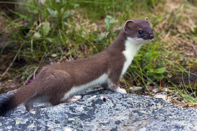 The Nature Of The, Animals, Weasel, Stone, Heather