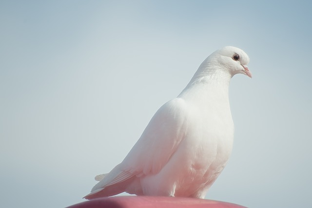Animals, Birds, Dove, Pure, White