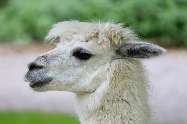 Alpaca, Zoo, Animals