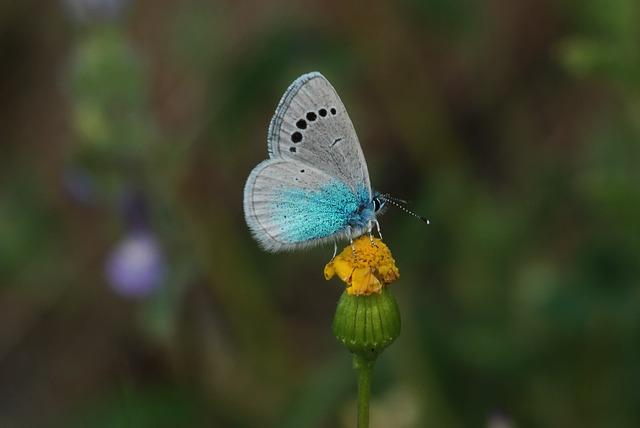 Turkey, Ankara, Butterflies, Bream Blue