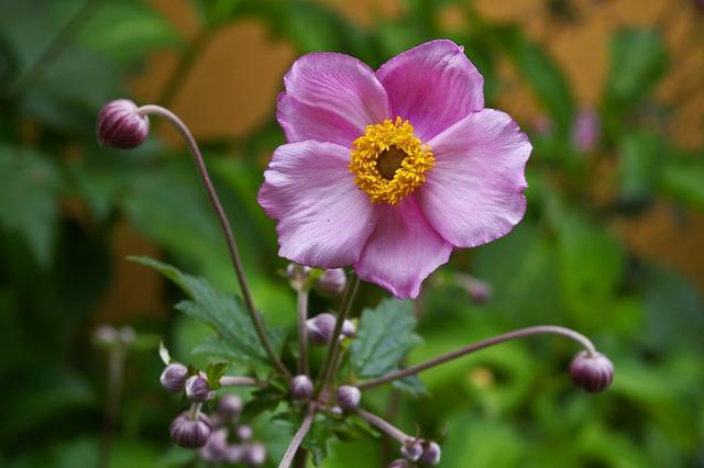 Annemone, Plant, Bud, Nature, Garden, Garden Plant