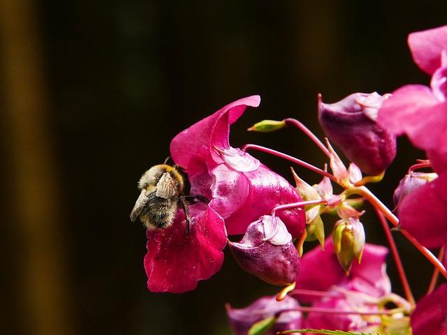 Indian Springkraut, Himalayan Balsam, Annual, Hummel