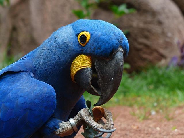 Blauaras, Parrot, Hyazinth-ara, Anodorhynchus, Bird