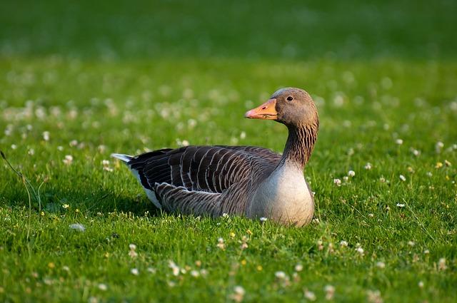 Greylag Goose, Goose, Anser Anser, Field Goose, Anser