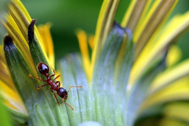 Ant, Red Garden Ant, Red Yellow Node Ant, Myrmica Rubra