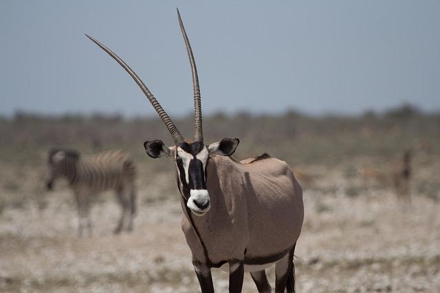 Animal, Animal World, Antelope, Mammal, Campaign