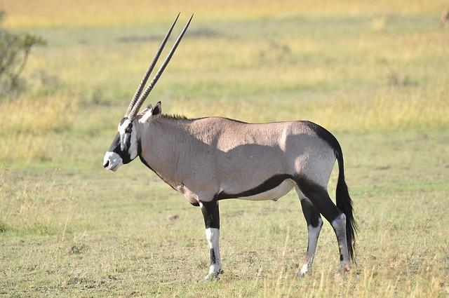 Wildlife, Mammal, Animal, Antelope, Grass, Oryx, Nature