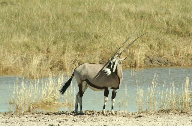 Oryx, Antelope, Namibia, Grazing Antelope