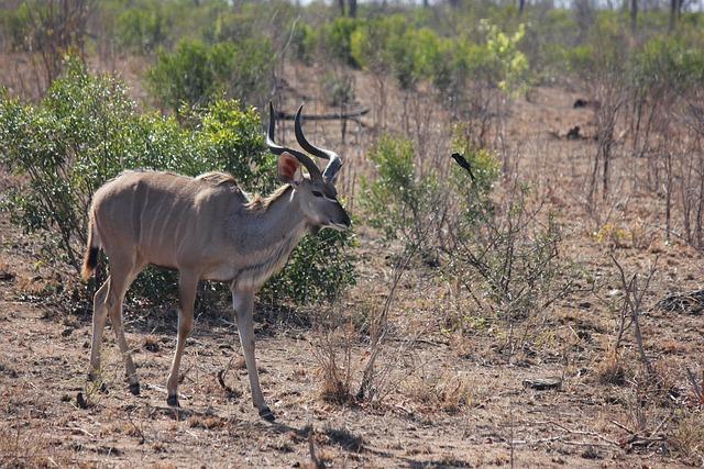 Kudu, Bull, Male, Animal, Antelope, Mammal, Wild