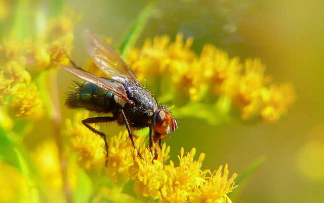 Padlinówka Imperial, Insect, Muchówka, Flower, Antennae