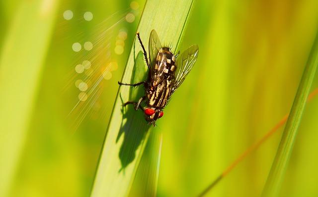 ścierwica Mięsówka, Muchówki, Insect, Antennae, Model