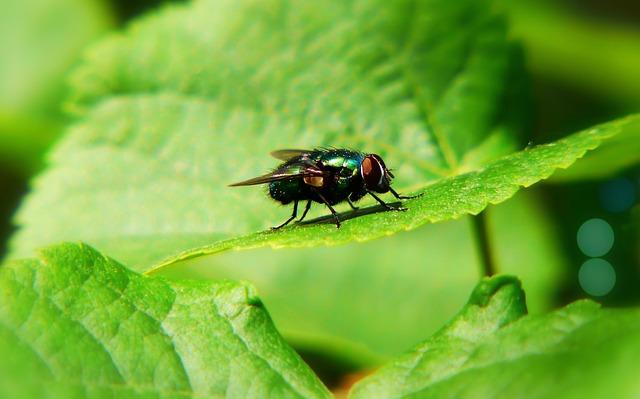 Padlinówka Imperial, Muchówka, Insect, Antennae, Leaf