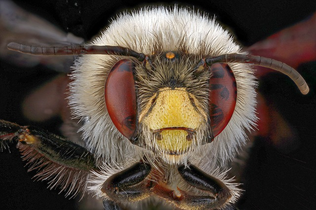 Bee, Anthophora, Bomboides, Male, Macro, Wings, Bees