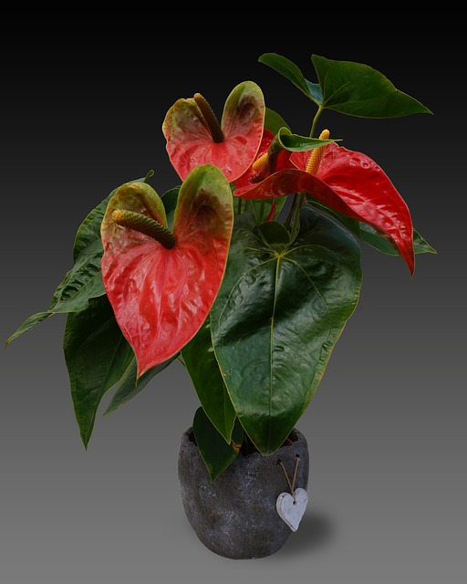 Anthurium, Flower, Large Flamingoblume, Blossom, Bloom