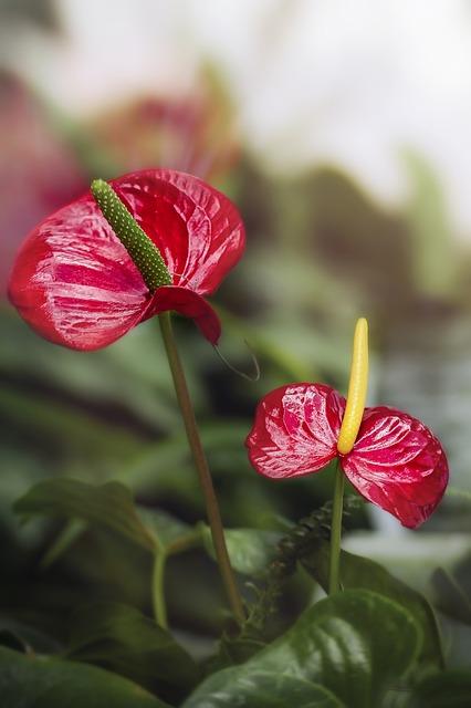 Flower, Anthurium, Garden, Plant, Floral, Leaves