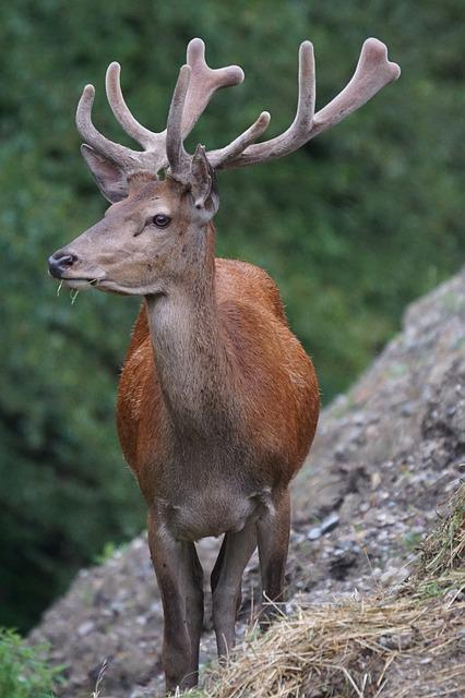 Red Deer, Hirsch, Noble Deer, Antler Carrier, Paarhufer