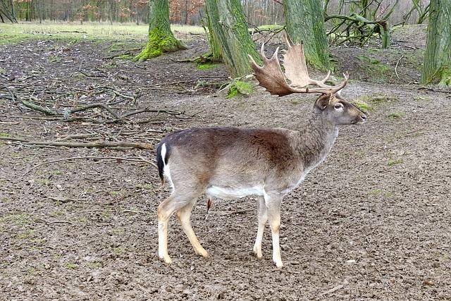Hirsch, Antler, Fallow Deer, Forest, Wild