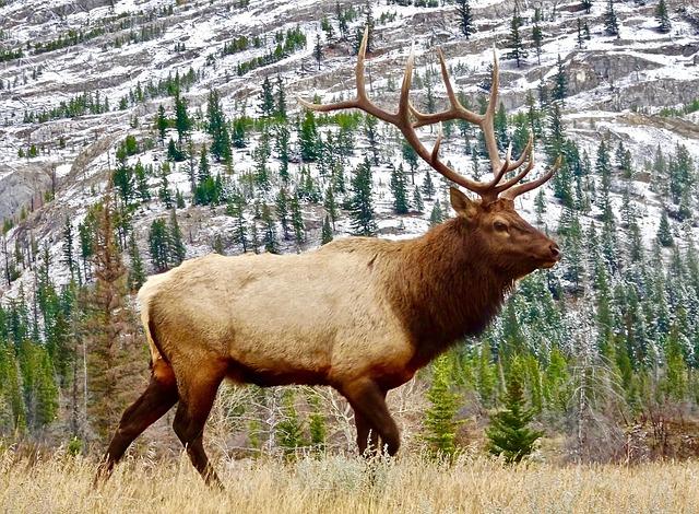 Elk, Bull, Male, Wildlife, Antlers, Wild, Nature