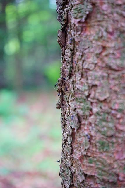 Glossy Black Wood Ant, Ants, Tree, Bark, Christmas Tree