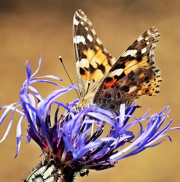 Butterfly, Cornflower, Ants, Nature, Insect, Vermin