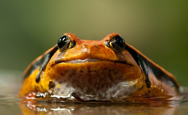 Tomato Frog, Amphibian, Animal, Anura