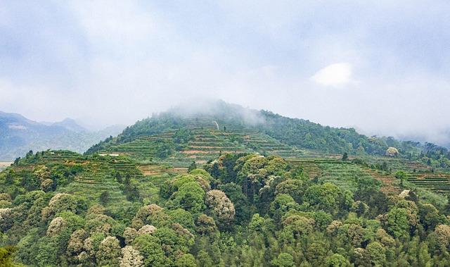 Anxi Tieguanyin Tea, Mountain Tea, Tea, Ecology