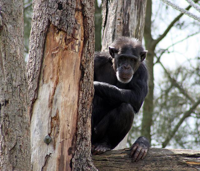 Chimpanzee, Zoo, Monkey, Ape, Animal, Chimp, Primate