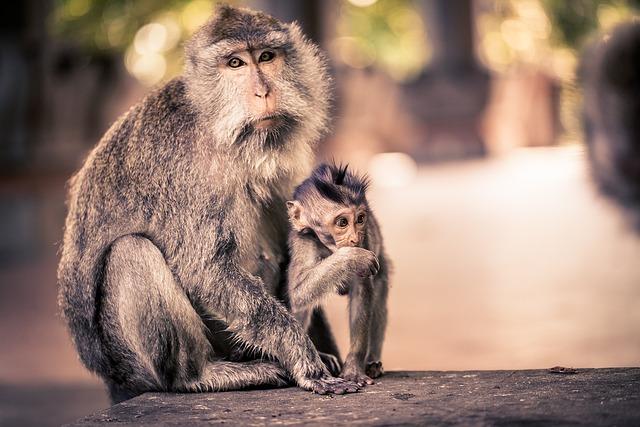 Ape, Ubud, Bali, Monkey Nut, Indonesia, Travel, Animal