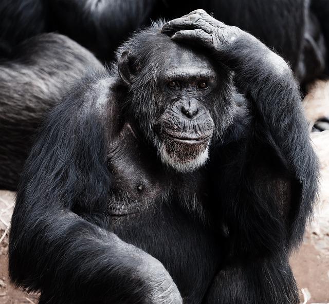 Animal, Ape, Black, Clever, Face, Hands, Intelligence
