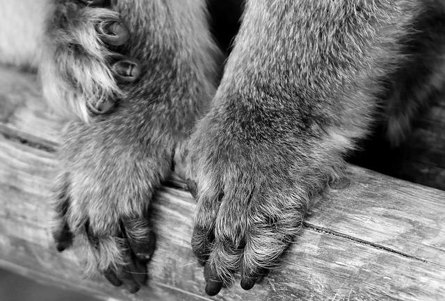 Ape, Barbary Ape, Paws, Endangered Species