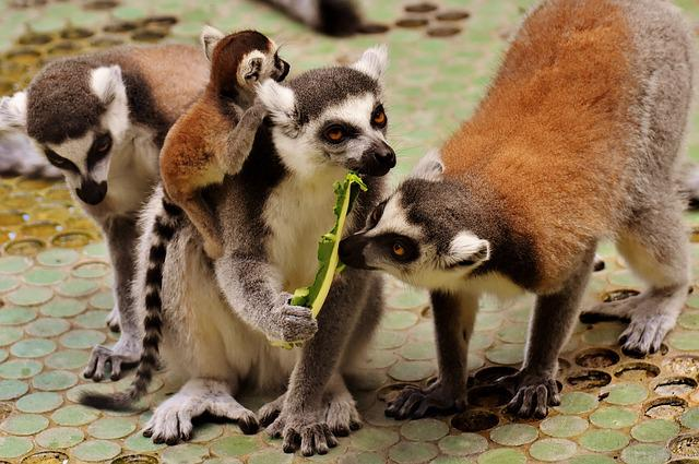 Lemur, Family, Cute, Ape, Animal, Wild Animal